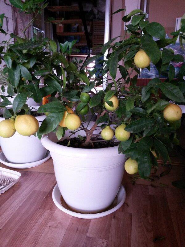 Саженцы лимона Дункан