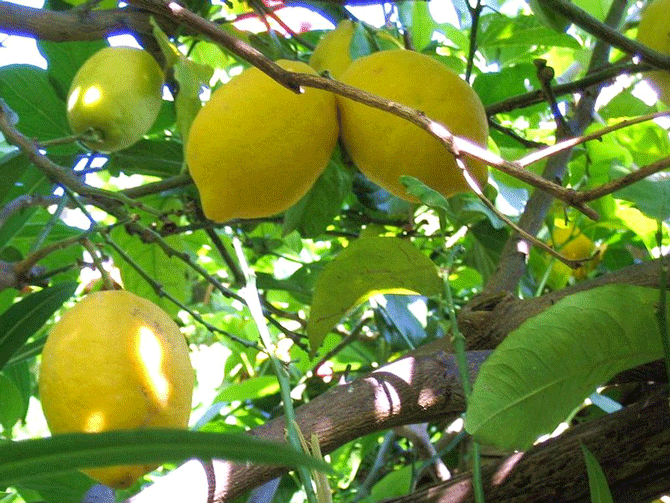 Саженцы лимона Фимминелло Комуне