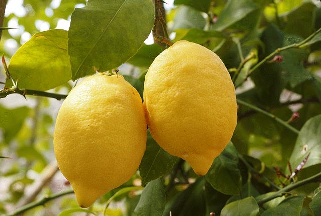 Саженцы лимона ЛемоксС