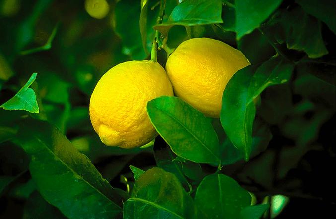 Саженцы лимона Лисбон