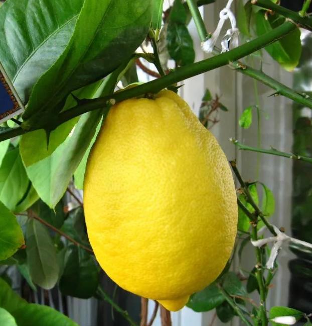 Саженцы лимона Новогрузинский