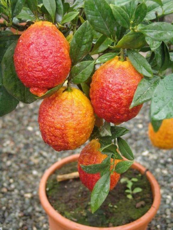 Саженцы лимона Россо