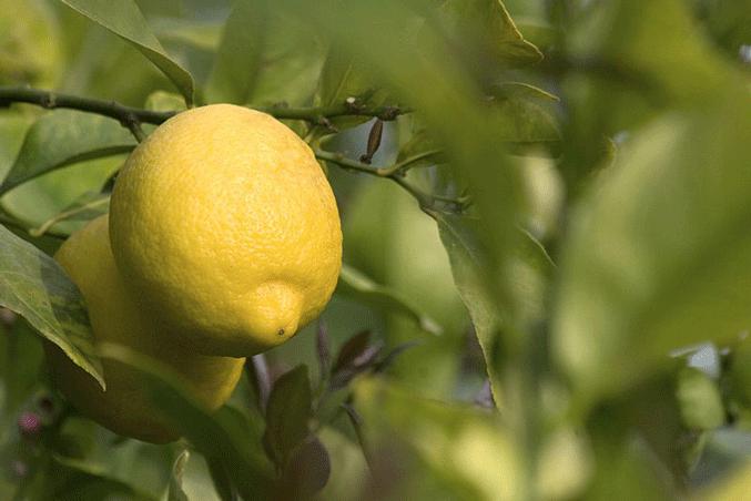 Саженцы лимона Сиракузано