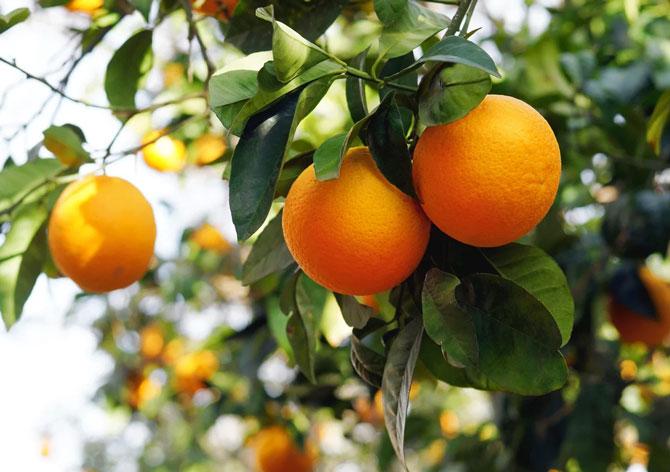 Гибрид лимона и мандарина лимандарин