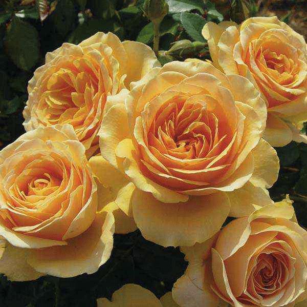 Роза Генриета Барнет