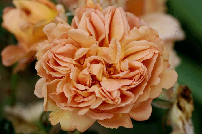 Роза Кафе