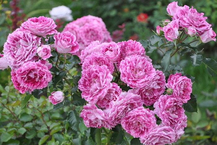 Роза Летс Селебрейт