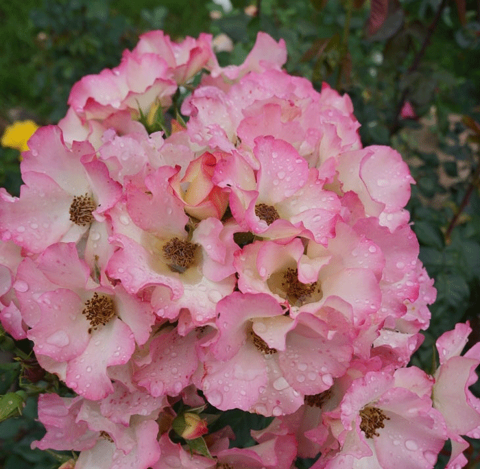 Роза Лиола