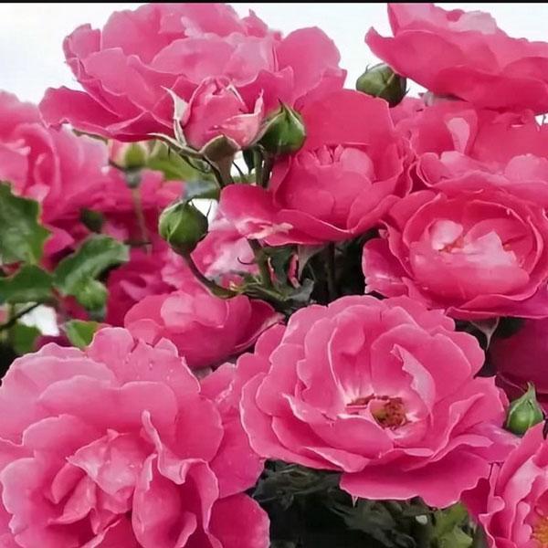 Роза Макси Вита