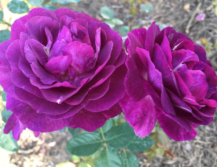 Роза Мистерез