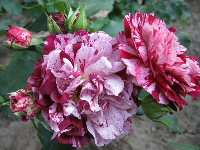 Роза Нью Имэджин
