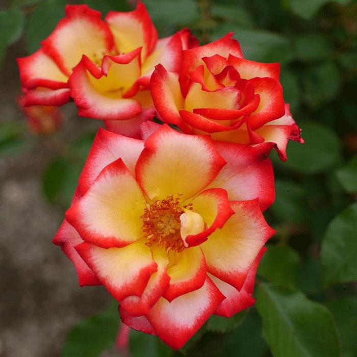 Роза Бетти Буп