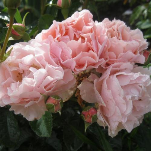 Роза Твигги