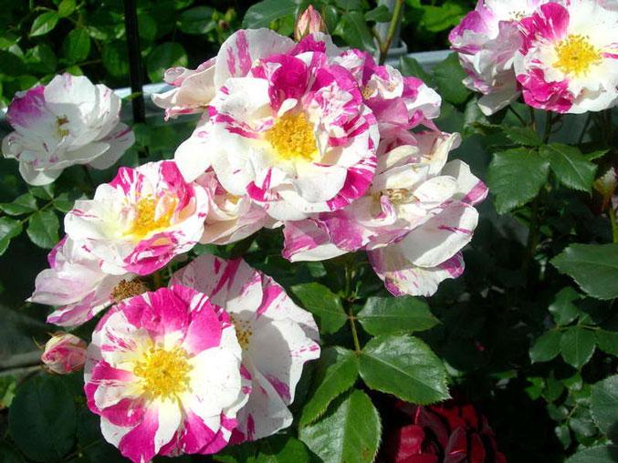 Роза Фрамбуаз