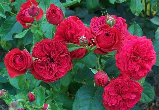 Роза Франсуа Рабле