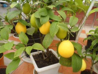 Как купить саженцы лимонов