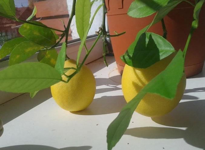 Почему не плодоносит комнатный лимон