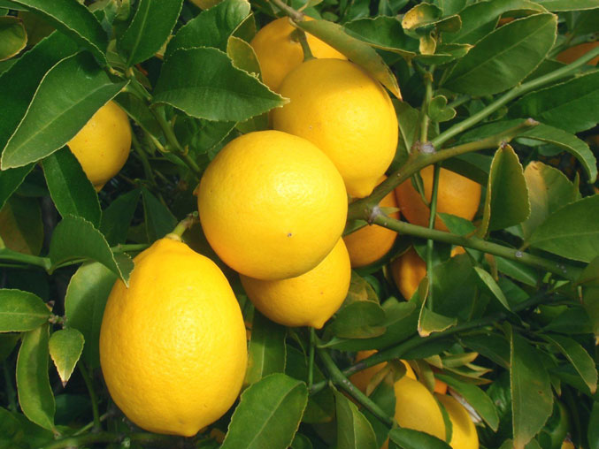 Популярные сорта лимонов