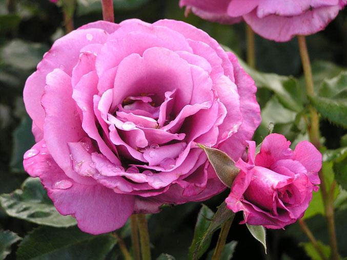 Роза Шокинг Блю