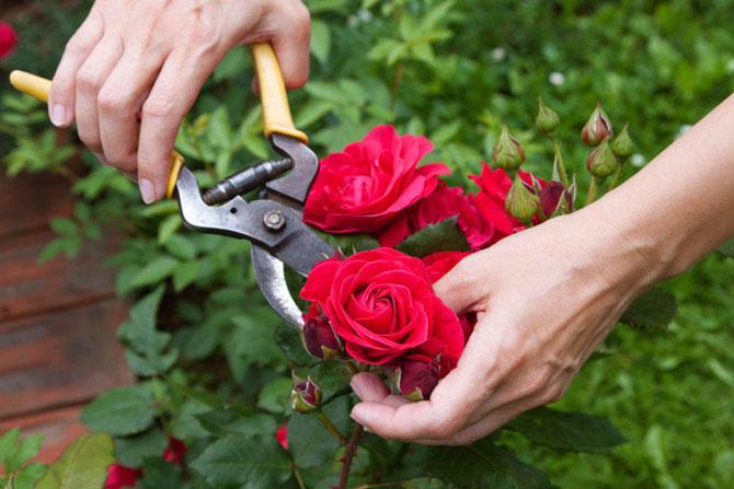 Как ухаживать за розами после посадки