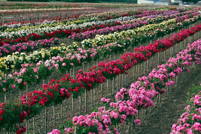 Какие лучше: корнесобственные розы или привитые