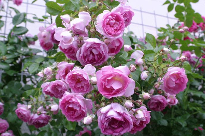 Лучшие розы для средней полосы России
