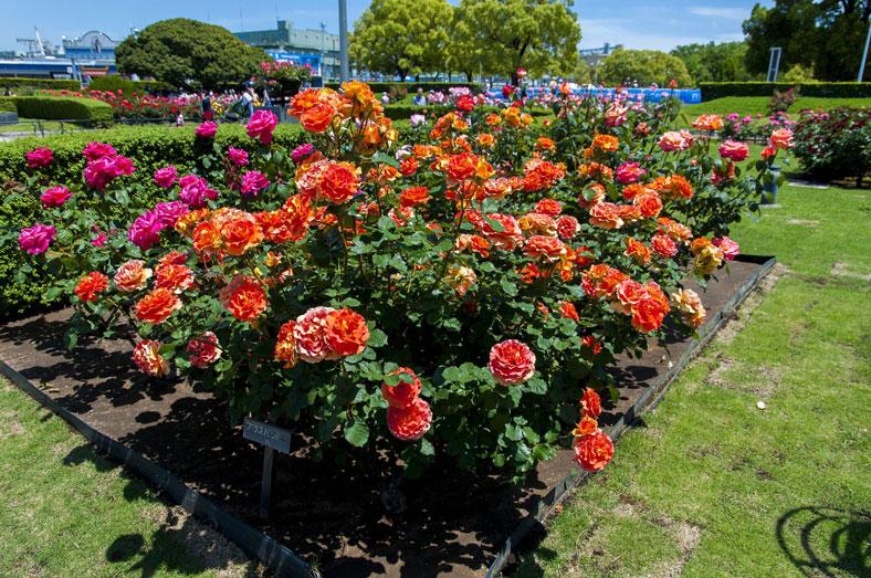 Выращивание садовых роз в открытом грунте