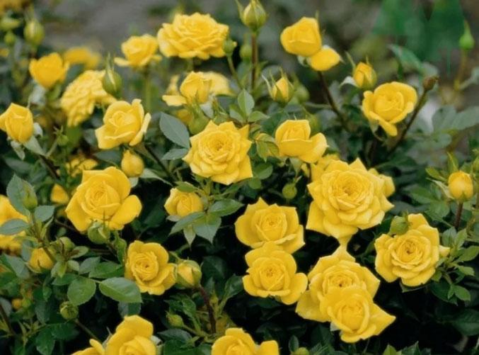 Как ухаживать за миниатюрными розами