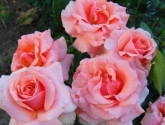 Как ухаживать за розами Грандифлора
