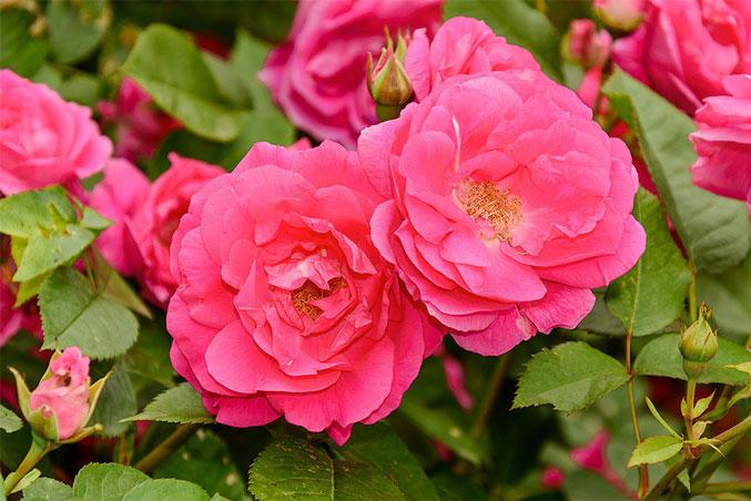 Как ухаживать за канадскими розами