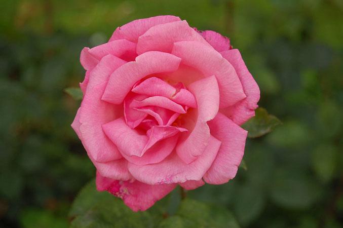 Роза Прима Балерина