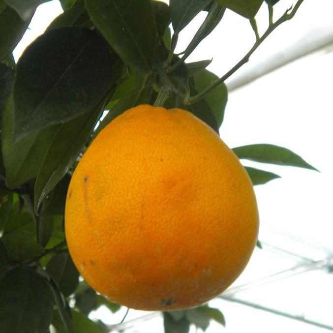 Апельсин Бонанза