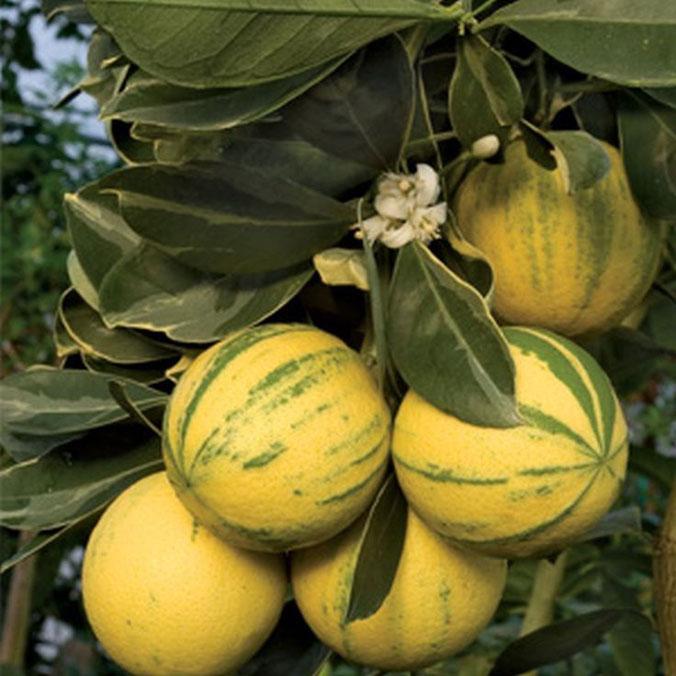 Апельсин Вариегатный Валенсия