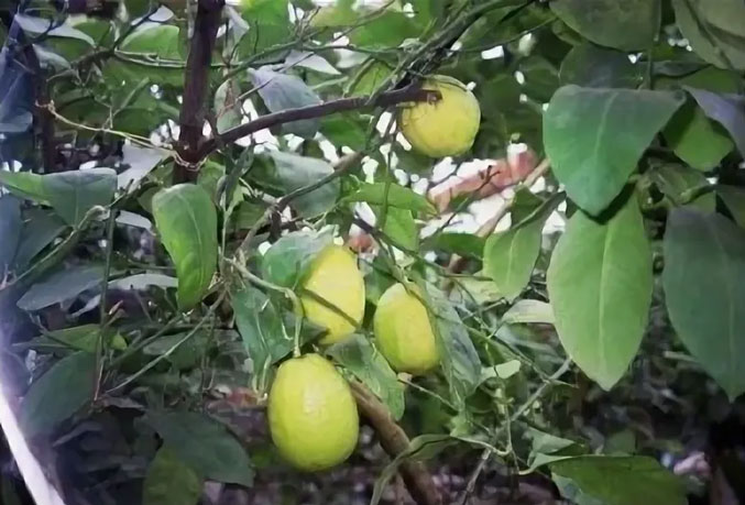 Лимон сладкий Доршапо