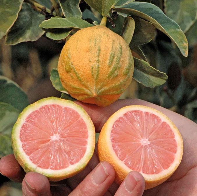 Лимон Вариегатный Сангвинеум