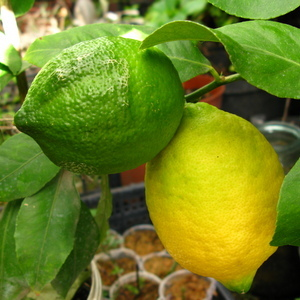Лимон 088