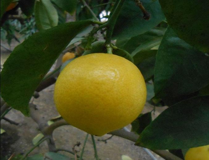 Бразильский лимон