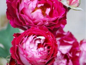 Роза Бель де Сегоза