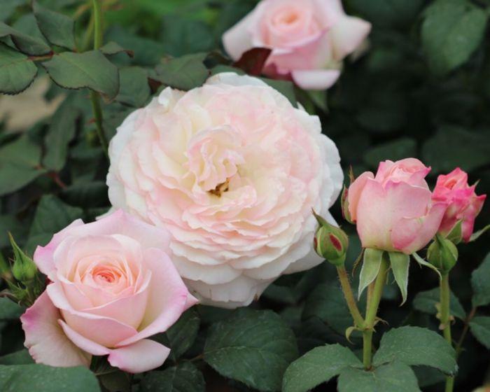 Роза Кейра