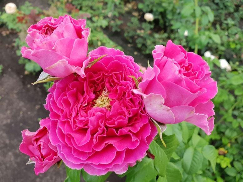 Роза Кейт