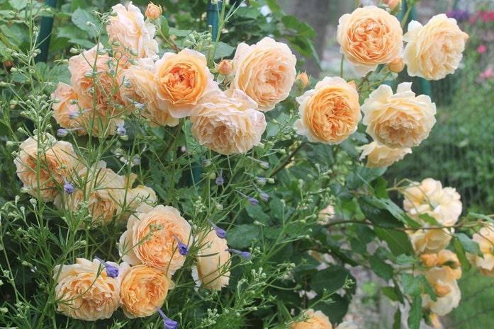 Роза Краун Принцесс Маргарет