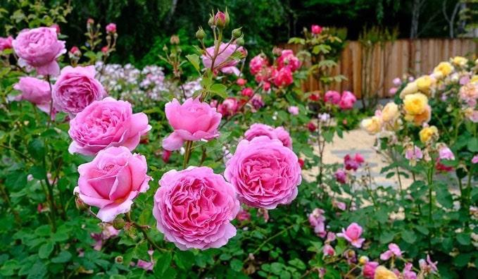 Роза Принцесса Александра оф Кен